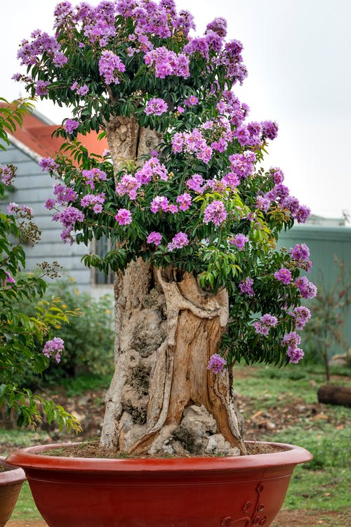 Potted blooming tree with delicate purple flowers