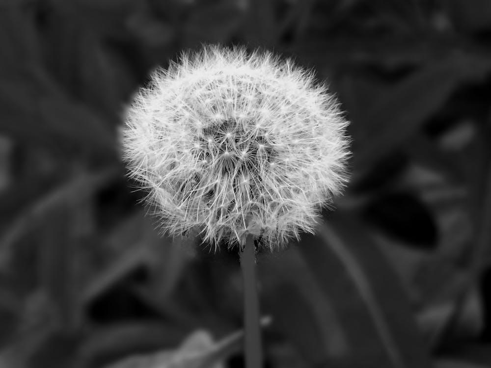 Grayscale Photography of Dandelion Seed Head