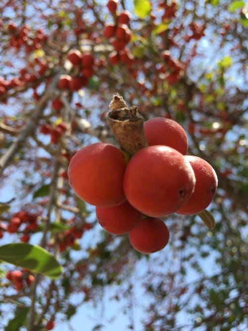 Free stock photo of banyantree, fruit