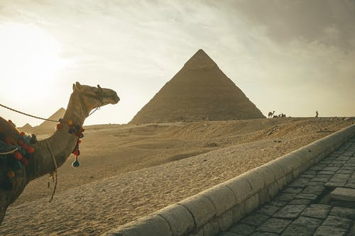 Camel standing against famous Great Pyramids in Egypt