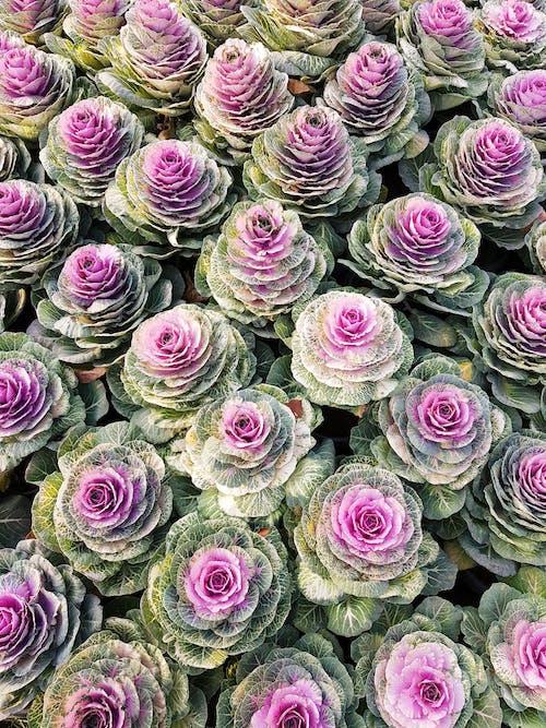 From above tender light purple ornamental cabbages Brassica Oleracea growing in summer garden in daylight