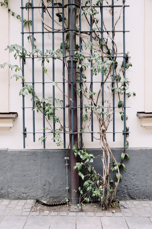 Climbing plant on iron grate against building wall