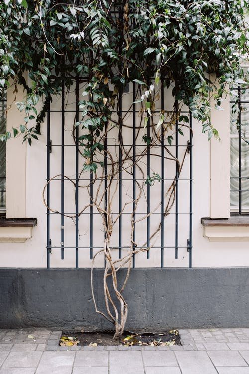Climbing Plant On An Iron Grill On White Concrete Wall