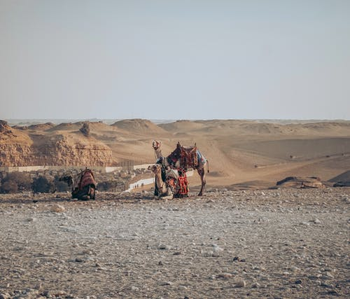 Camels resting on sandy dunes in desert