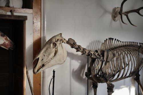Skeleton of horse in museum