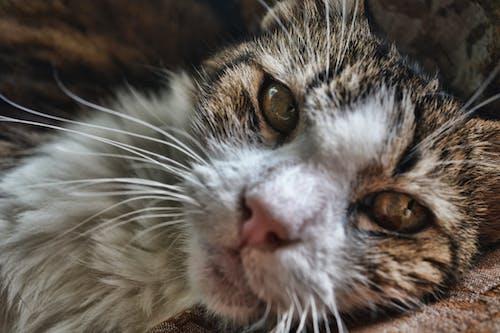 Free stock photo of cat, gata, kitten, old