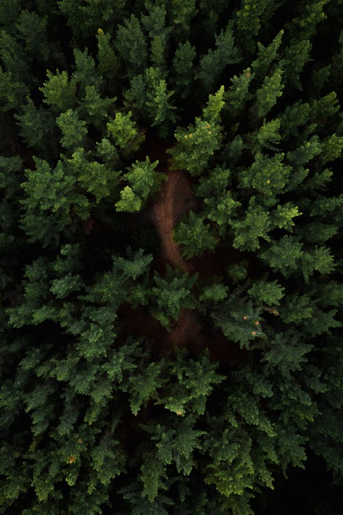 Tops of coniferous trees in woods