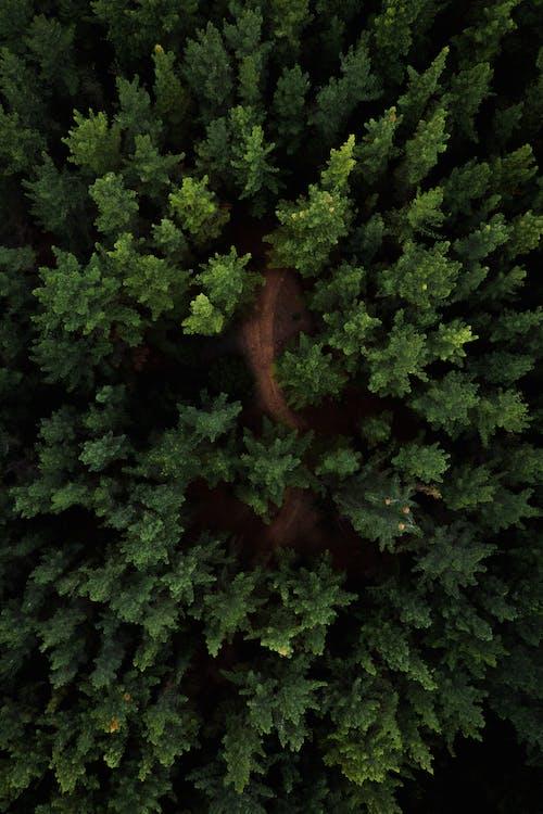 Spitzen Von Nadelbäumen In Wäldern