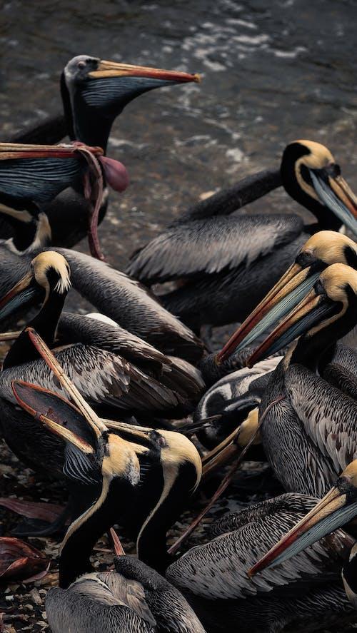 Kostenloses Stock Foto zu braune pelikan, federn, gefieder, pelikane