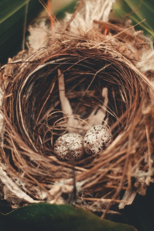 Quail eggs in coiled nest in countryside