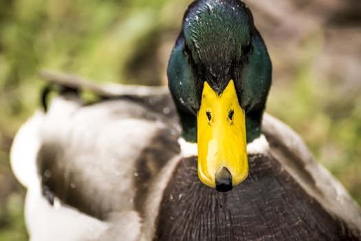 Free stock photo of animal, duck, animal photography