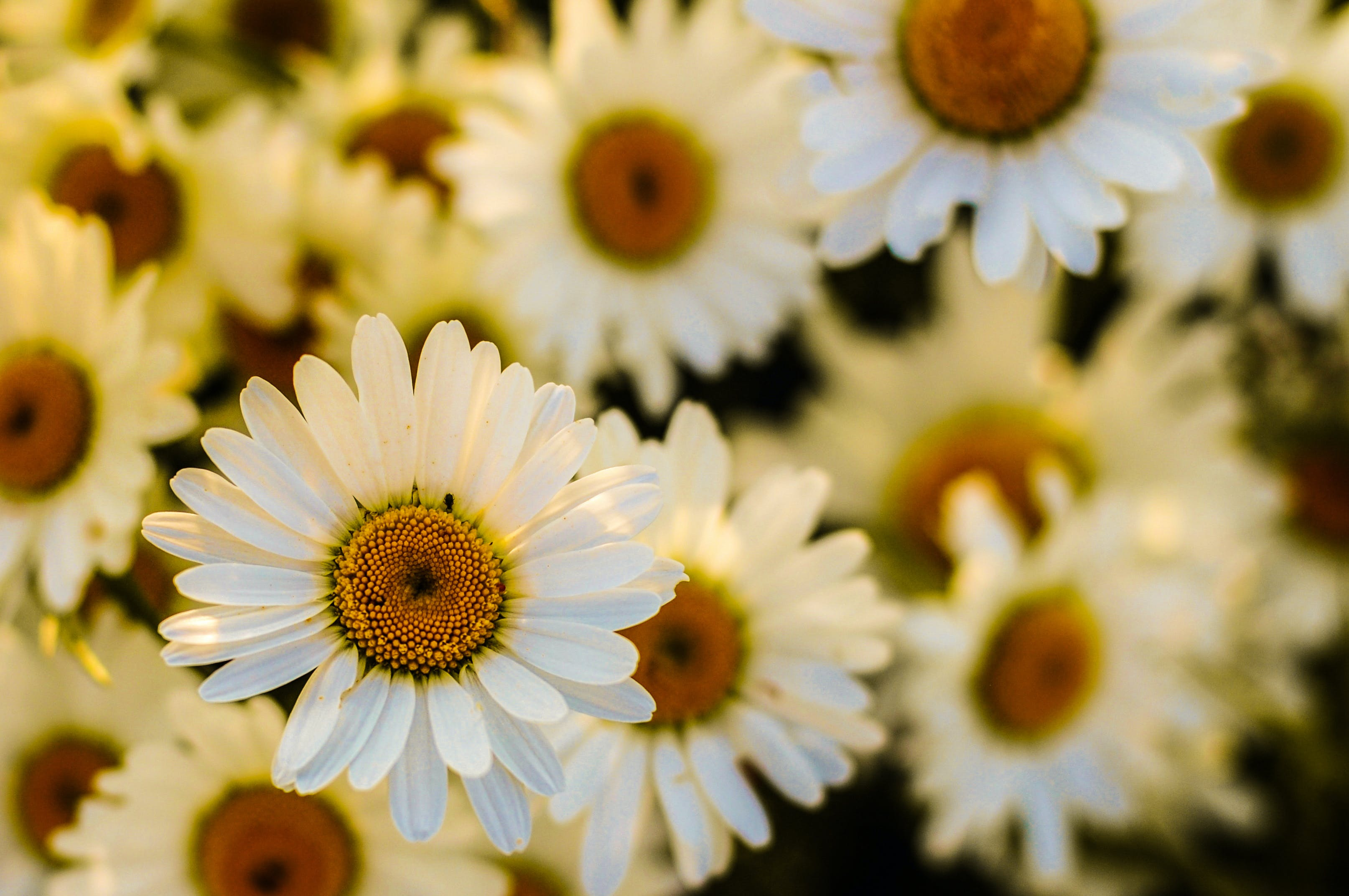 Free stock photo of flowers, marguerites, oxeye daisies, flora