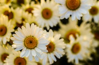 flowers, marguerites, oxeye daisies