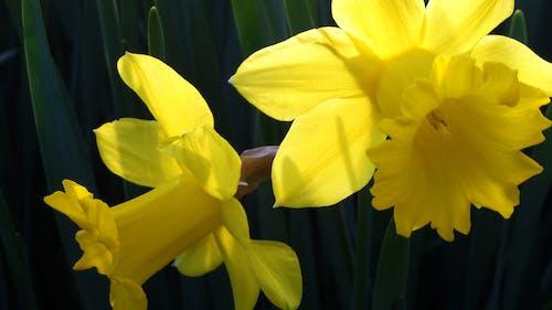 Free stock photo of Daffodils Yellow