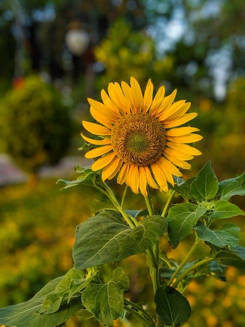 Girassol Amarelo Em Fotografia Close Up