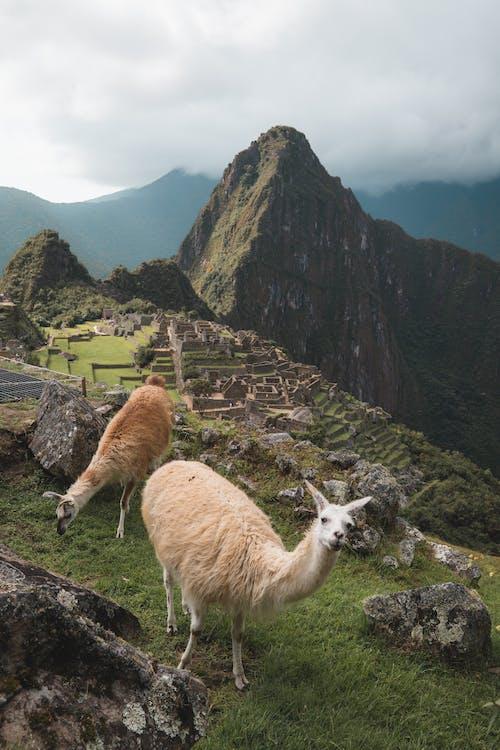 Základová fotografie zdarma na téma alpaka, cusco, fotografie přírody