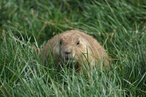 緑の草の上の茶色の齧歯動物