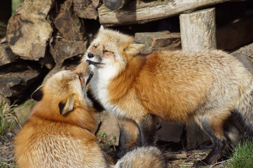 Red Fox Near Wood