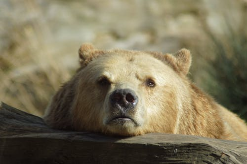Brown Bear Lying On Brown Wooden Surface