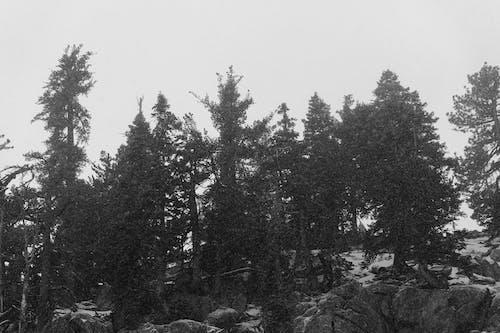 Gray scale Photo of Pine Trees