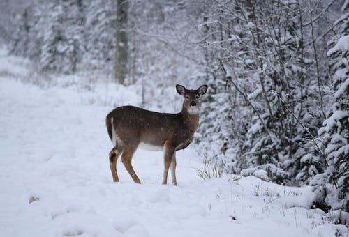 Brown Deer on Snow Covered Ground