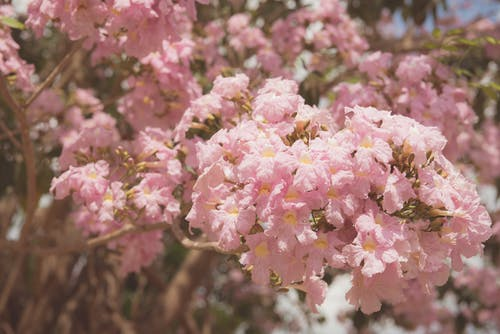 Pink Cherry Blossoms Flowers