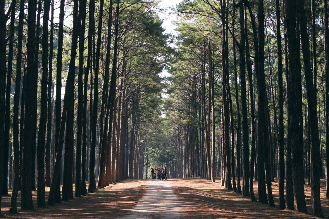 Tall Forest Trees