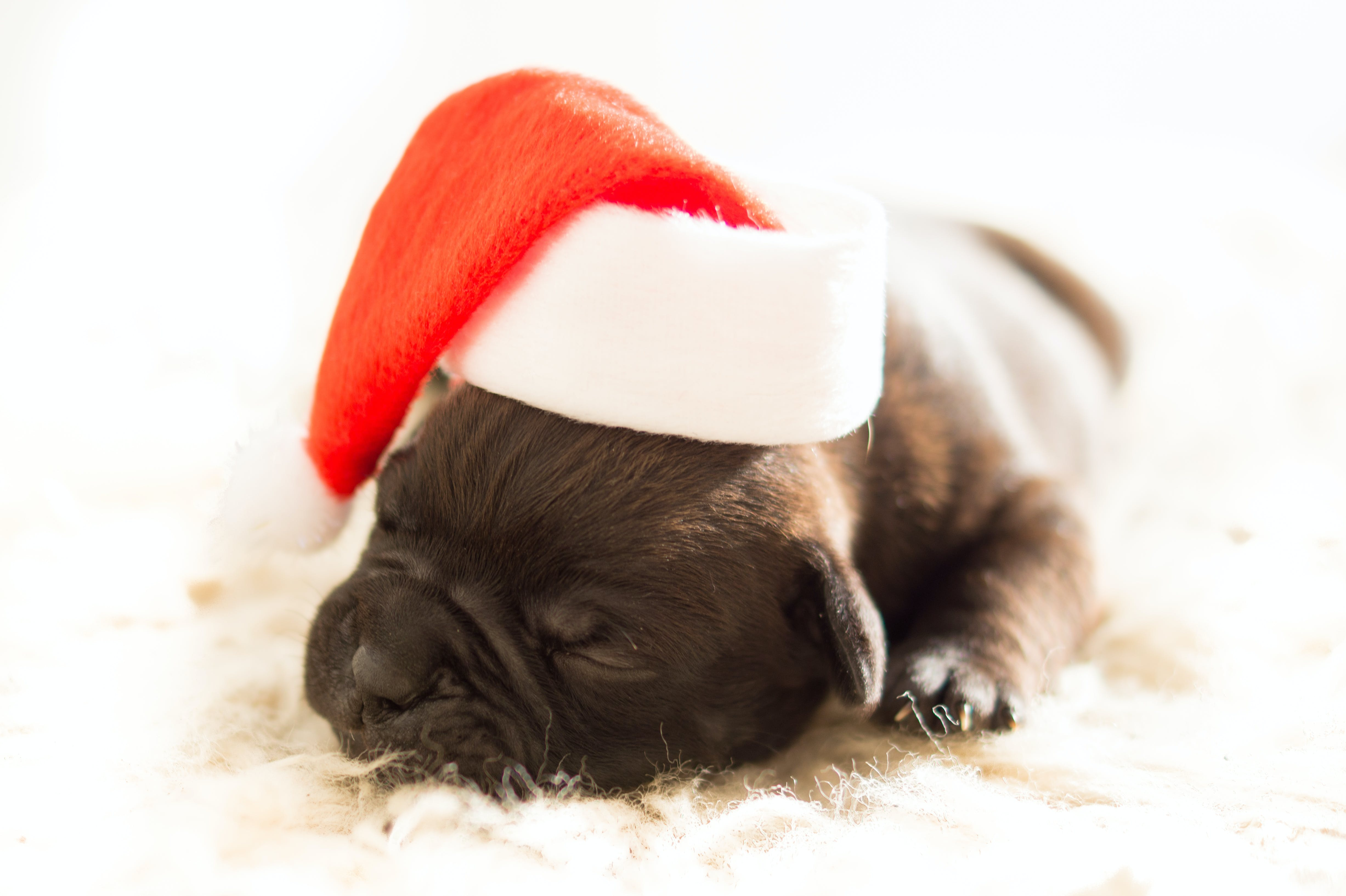 Sleeping Black Puppy Wearing White and Red Santa Hat