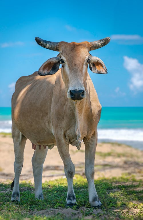Brown Cow on Green Grass Field Near Body of Water