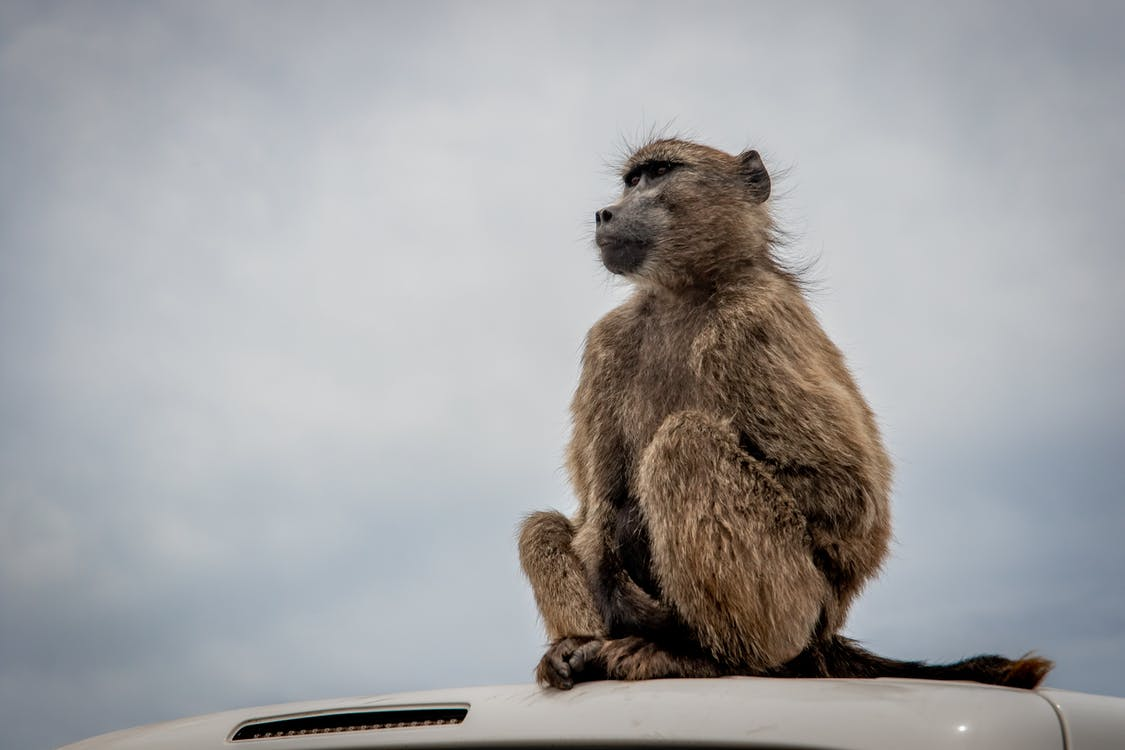 Brown Monkey Sitting on White Metal Fence Under White Clouds