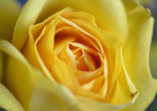 คลังภาพถ่ายฟรี ของ กลีบดอกไม้, การแต่งงาน, กำลังบาน
