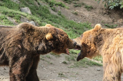 Free stock photo of alaska, bears, fighting