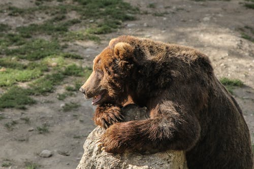 Free stock photo of alaska, bear, claw