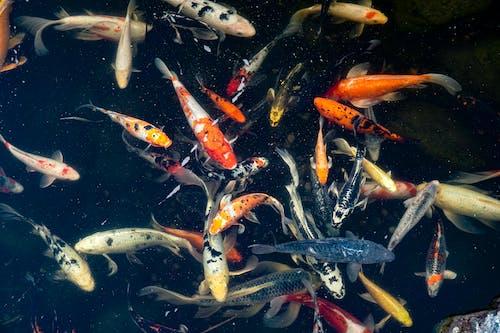 Gratis lagerfoto af alotoffish, blå, fishingforkoi, fisk