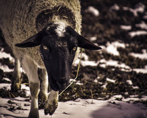 Black and White Sheep on Brown Soil
