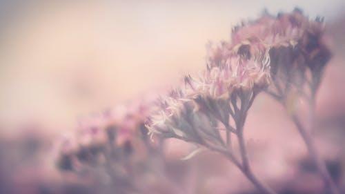 Free stock photo of flowers, mauve
