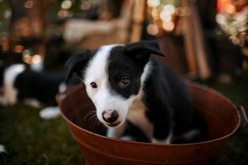 Black and White Border Collie Puppy in Orange Metallic Basin