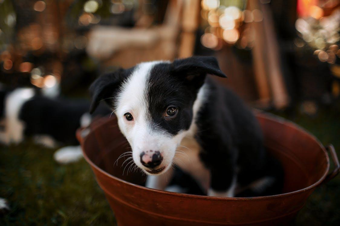 Black and White Border Collie Puppy in Orange Metallic Basin