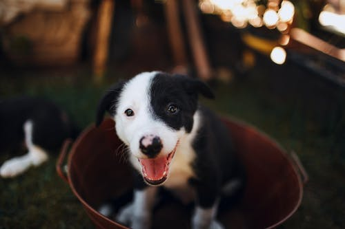 Black and White Border Collie Puppy in Brown Metallic Bucket