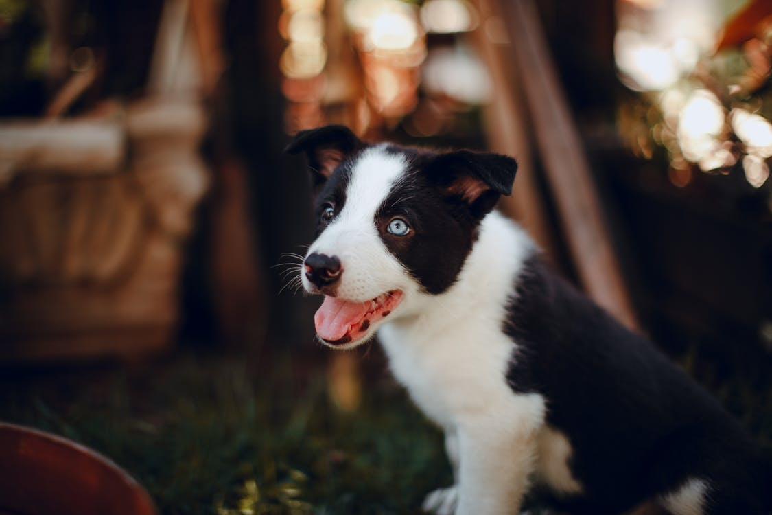 Black and White Border Collie Puppy on Green Grass