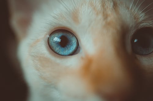Close-up Photo of Orange Tabby Cat With Blue Eyes