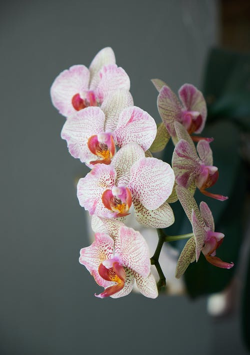 White and Pink Orchids in Close Up Photography