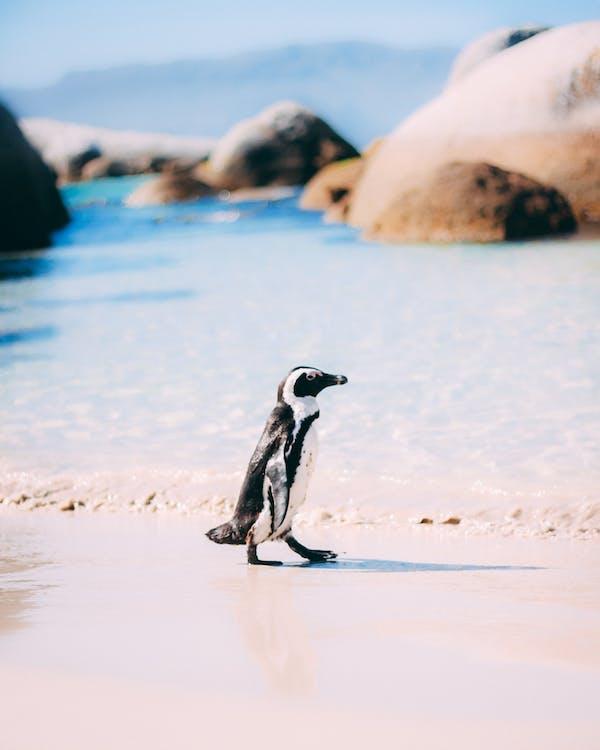 Penguin Standing on White Sand