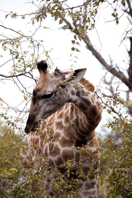 Brown Giraffe Eating A Plant