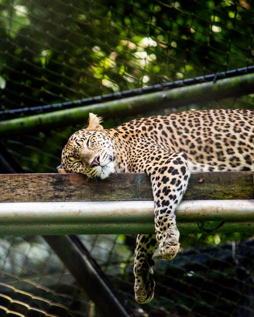 Leopard Sleeping On Brown Wood Plank