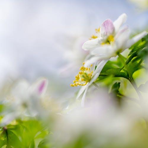 Gratis stockfoto met bloeien, bloemblaadjes, bloemen, bloesem