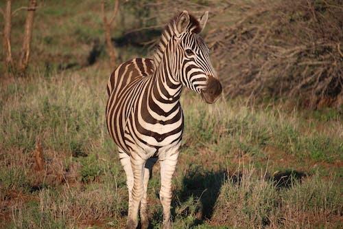 Fotos de stock gratuitas de animal, animal salvaje, cebra, césped