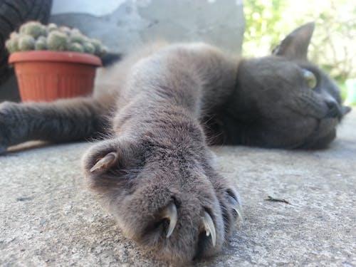 グレー, ネコ, 爪の無料の写真素材