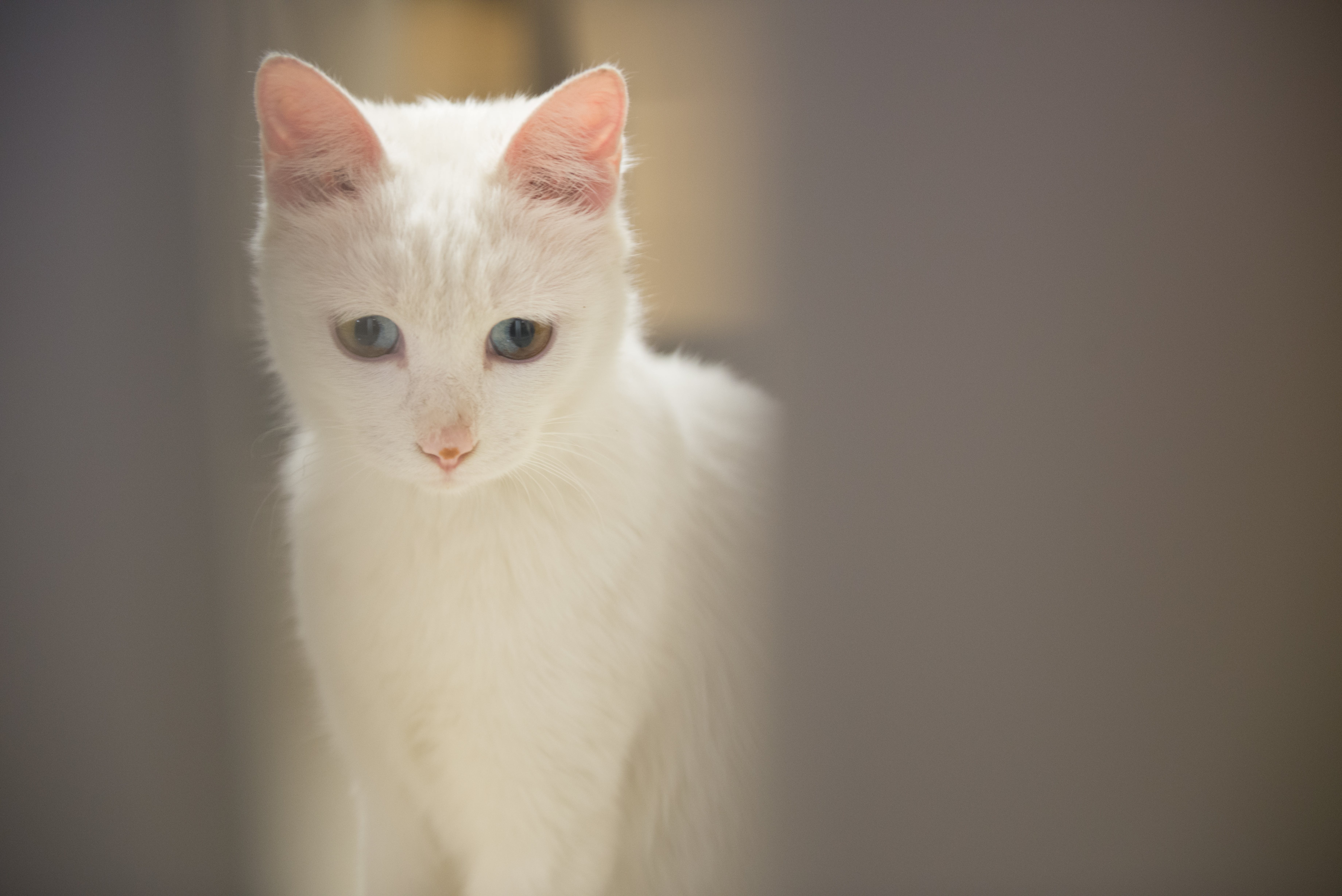 Free stock photo of cats, Different color pupil, eyes, mysterious