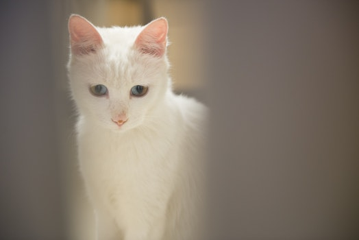 Free stock photo of eyes, mysterious, cats, white cat